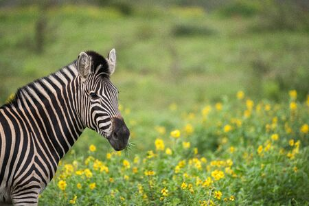 A beautiful headshot of a zebra standing in green grass, with yellow flowers as the background, taken in the Madikwe Game Reserve, South Africa. Standard-Bild