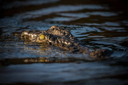 A close up portrait taken at sunrise of a large crocodile's head, with just the eyes and snout peeking above the water's surface on the Chobe River Botswana.