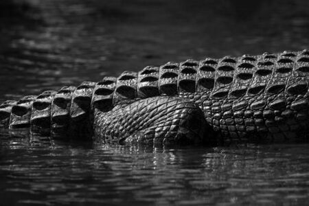 An abstract black and white close up of the rear leg of a crocodile, half submerged in the Chobe River, Botswana. Standard-Bild