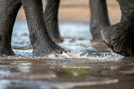 A close up photograph of an elephant's legs, while it's walking through the shallows in the Chobe River, Botswana.