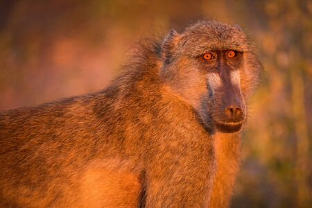 A close up portrait of an adult baboon looking straight into the camera at sunset, taken in golden light on the Chobe River in Botswana.