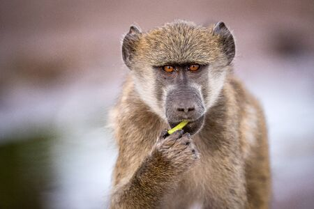A close up portrait of a young baboon looking straight into the camera at sunset, taken on the Chobe River in Botswana.