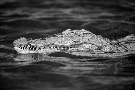 A black and white portrait of a crocodile swimming, showing its teeth, on the Chobe River in Botswana.