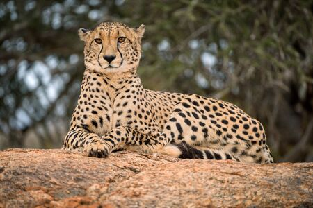 A close up photograph of a single cheetah lying on a rock and looking towards the camera, with a green tree as the background, taken in the Madikwe Game Reserve, South Africa. Standard-Bild