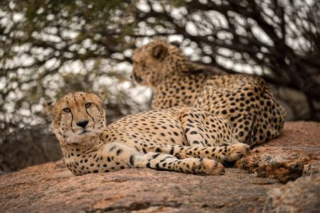 A close up photograph of two cheetahs lying and relaxing on a rock with a green tree as the background, taken in the Madikwe Game Reserve, South Africa.