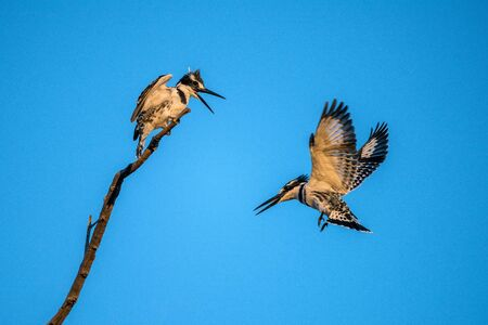 An action photograph at sunrise with two chattering Pied Kingfishers in flight, against a deep blue sky, taken in the Madikwe Game Reserve, South Africa. Standard-Bild
