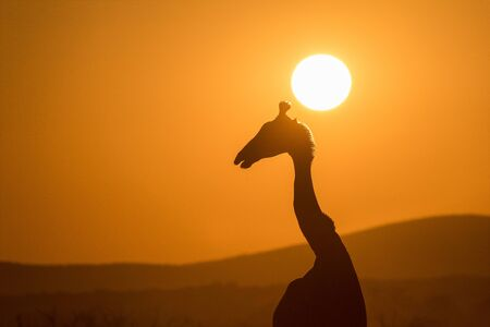 A beautiful photograph of a walking giraffe silhouetted against a golden sunset sky, with the sun behind its head, taken in the Madikwe Game Reserve, South Africa.