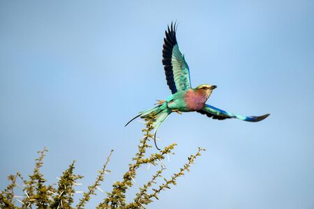 A close up action photograph of a Lilac-Breasted Roller taken flight from a green leafed branck, against the backdrop of a blue sky. Taken in the Madikwe game Reserve, South Africa.