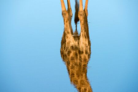 An abstarct close up of the torso of a giraffe reflecting in the deep blue water surface of a waterhole, in the Madikwe Game Reserve, South Africa.