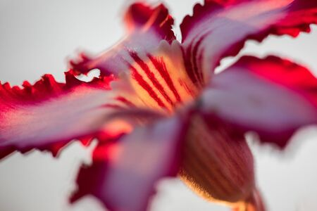 A close up macro photograph of a beautiful pink Impala lily at sunrise against a white background, taken in the Pafuri Concession of the Kruger National Park, South Africa.