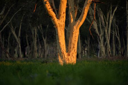 An abstract close up of a Fever tree, illuminated by the setting sun, in the fever tree forest in the Pafuri concession of the Kruger National Park, South Africa.
