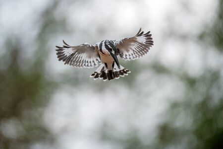 A close up photograph of a hovering Pied Kingfisher hunting for its prey, with an out of focus green background, taken in the Madikwe Game Reserve, South Africa.