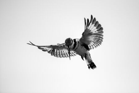 A close up black and white photograph of a hovering Pied Kingfisher hunting for its prey, with a white background, taken in the Madikwe Game Reserve, South Africa.