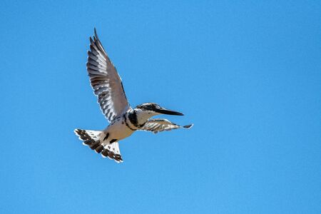A close up photograph of a Pied Kingfisher in full flight, against a deep blue sky, taken in the Madikwe game Reserve, South Africa.