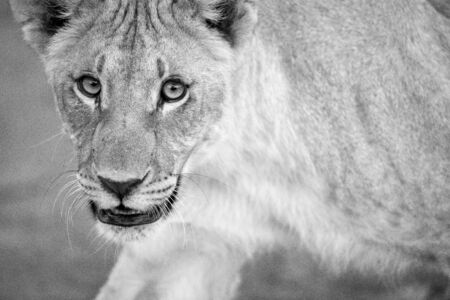 A black and white close up portrait of a walking female lioness looking straight at the camera, taken in the Madikwe Game Reserve, South Africa.