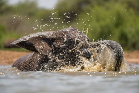 A close up action portrait of a swimming elephant, splashing, playing and drinking in a waterhole at the Madikwe Game Reserve, South Africa. Standard-Bild