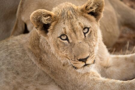 A close up portrait of a young female lioness looking straight at the camera, taken in the Madikwe Game Reserve, South Africa. Standard-Bild