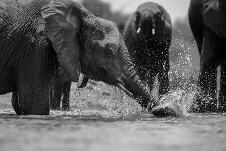 A close up black and white action portrait of a swimming elephant, splashing, playing and drinking in a waterhole at the Madikwe Game Reserve, South Africa.