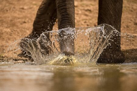 A dramatic action close up of an elephant splashing water with its trunk at sunrise, while drinking at a waterhole in the Madikwe Game Reserve, South Africa. Standard-Bild