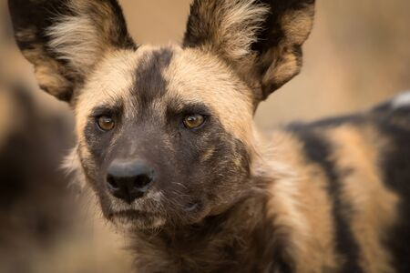 A beautiful detailed close up portrait headshot of an African Wild Dog intently looking towards the camera at sunset, taken at the Madikwe game Reserve in South Africa. Foto de archivo