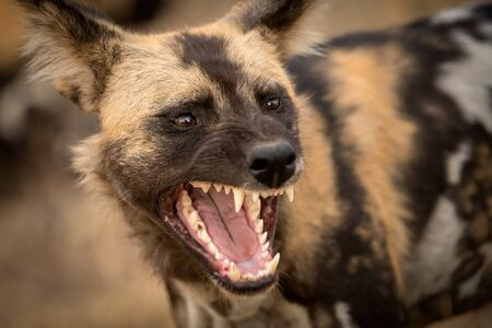 A beautiful detailed close up portrait headshot of an African Wild Dog with its mouth open, snarling and with its teeth bared, taken at sunset in the Madikwe Game Reserve in South Africa.
