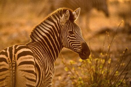 A beautiful portrait of a zebra at sunrise, looking towards the camera, with golden light, taken in the Madikwe Game Reserve, South Africa.