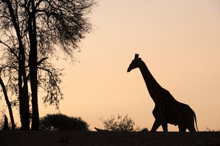 A beautiful and tranquil silhouette of a giraffe walking towards a tree against a golden orange sky at sunset, taken at the Madikwe Game Reserve, South Africa.