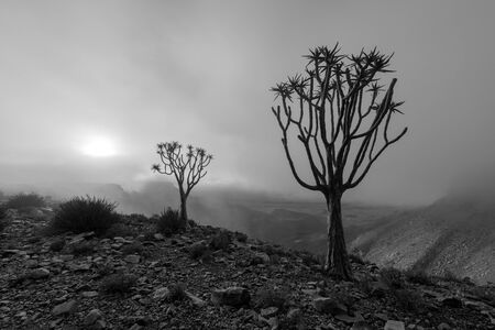 A moody black and white landscape taken on top of the arid and stark Fish River Canyon, Namibia, with two Quiver Trees in the foreground, and the golden sun breaking through the mist at sunrise.