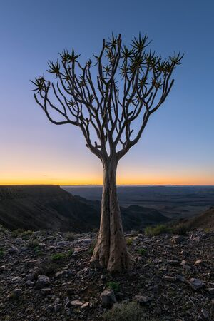 A vertical moody early morning landscape taken on top of the arid and stark Fish River Canyon, Namibia, with an ancient Quiver Tree in the foreground, and a golden and blue sky on the horizon. Standard-Bild