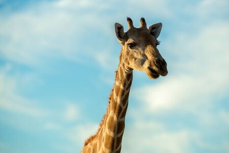A cute close up portrait of a giraffe's head and neck against a blue sky with white clouds, taken at sunrise at the Augrabies Falls National Park in South Africa. Standard-Bild