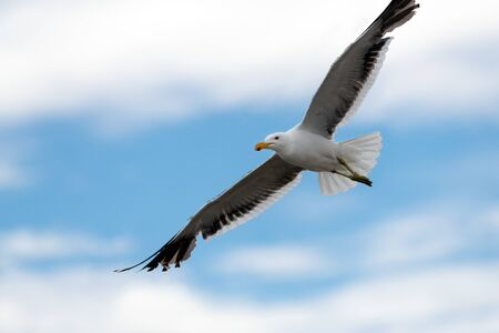 A close up action photograph of a seagull in flight against a blue sky with white clouds, taken in Port Nolloth, South Africa. Standard-Bild