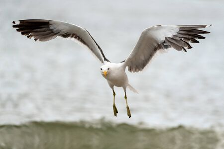 A close up action photograph of a seagull in flight towards the camera with the ocean and a crashing wave as a backdrop, taken in Port Nolloth, South Africa. Standard-Bild