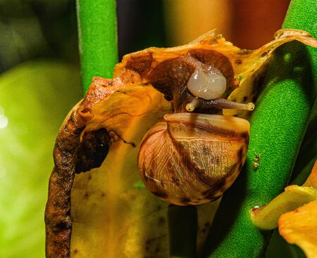 Snails eat dry leaves, brown in the rainy season.