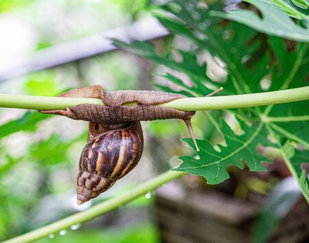 Curious snail in the garden on papaya tree. Reklamní fotografie