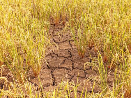 Dry cracked soil with yellow rice field, Concept for drought.