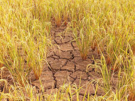 Suelo agrietado seco con campo de arroz amarillo, concepto de sequía.