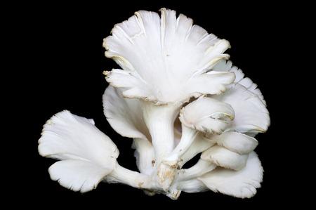 ヒラタケは栄養価の高いホワイトし、味甘い牡蠣マッシュルームに粘着されていないある特定の物質は薬効がある治療を持っています。 写真素材