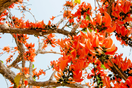 five petals: Thongkown flowers   a bouquet of flowers like red, orange, Lang length 6-15 cm long, elongating Islands are a group with five petals blooming time is the most prolific flowering in February of each year