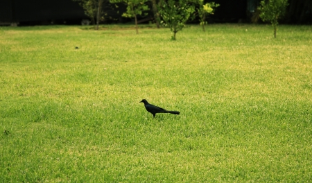 Black jackdaw bird sitting in the center of a green grass lawn Stock Photo - 13758371