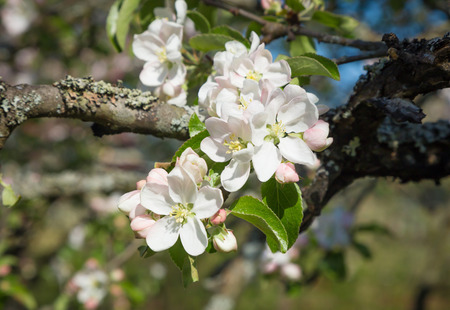 Branch of Apple blossoms against a blue sky