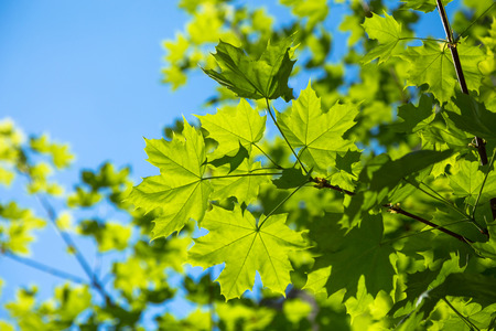 Branch of young solar green leaves on a background of foliage and blue sky. Maple tree