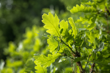 Branch of young solar green oak leaf on a background of foliage in spring