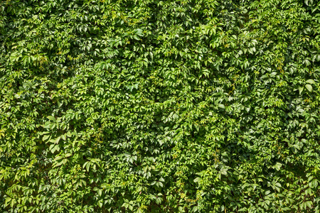 Natural green texture of bright lush ivy foliage. Hedgerow at the garden. Plant picture at the sunny day.