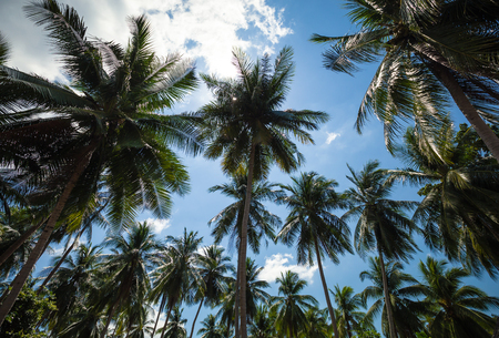 Looking up palm tree. Palm trees on blue sky background with clouds. Palm grove.