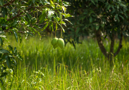 Mango tree. Some fruits of the tree hanging on the green grass. Garden in Thai village. 免版税图像