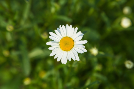 Neat beautiful daisy on the background of green grass and foliage. Chamomile or camomile flower close-up in the field, top view. Plant landscape.