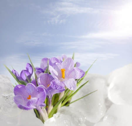 spring and crocus in ice photo