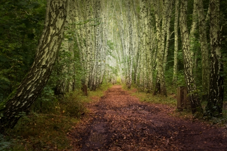 Birch alley fairy wood photo