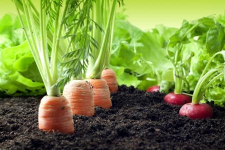 verduras: Las verduras en el jardín