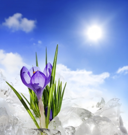 crocus and spring in snow photo